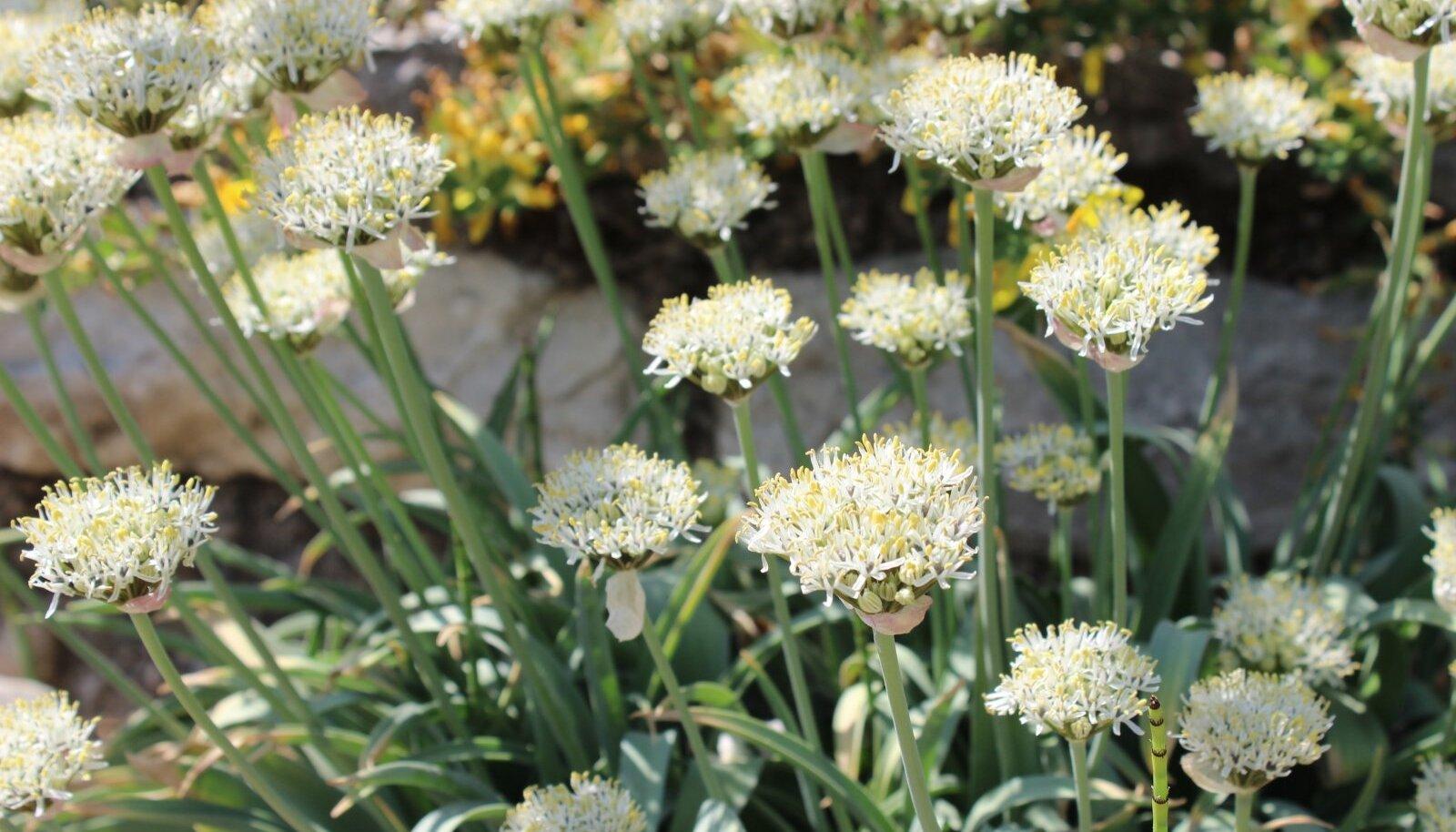 Harputi lauk (Allium kharputense) on beežikasvalgete õitega.