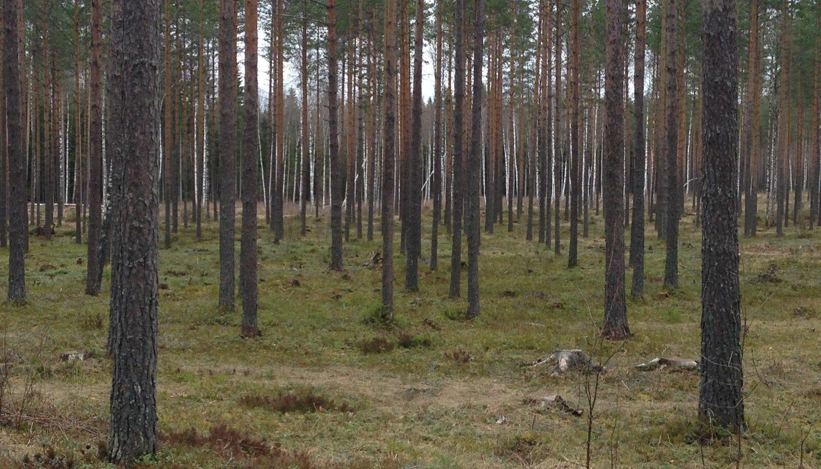 Kõrvemaa metsad pole tänavu eriti lund näinud.