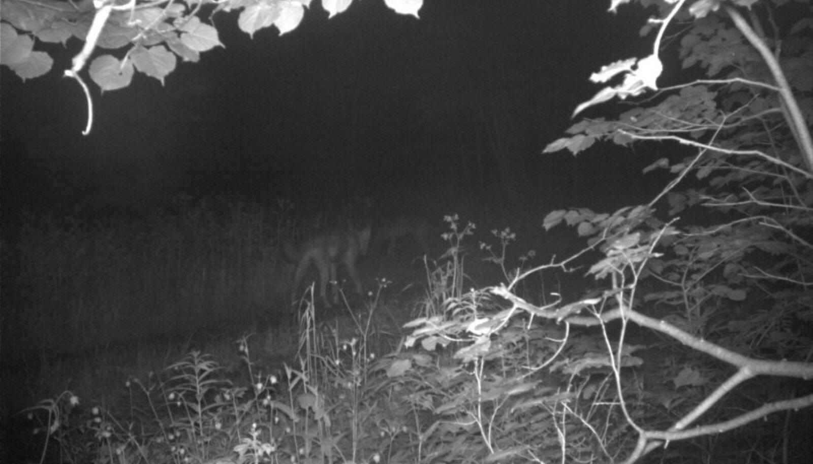 24 tundi enne kadumist salvestas Keskkonnaagentuuri ulukikaamera Sindi hundist ja ta kaaslasest viimase teadaoleva pildi.