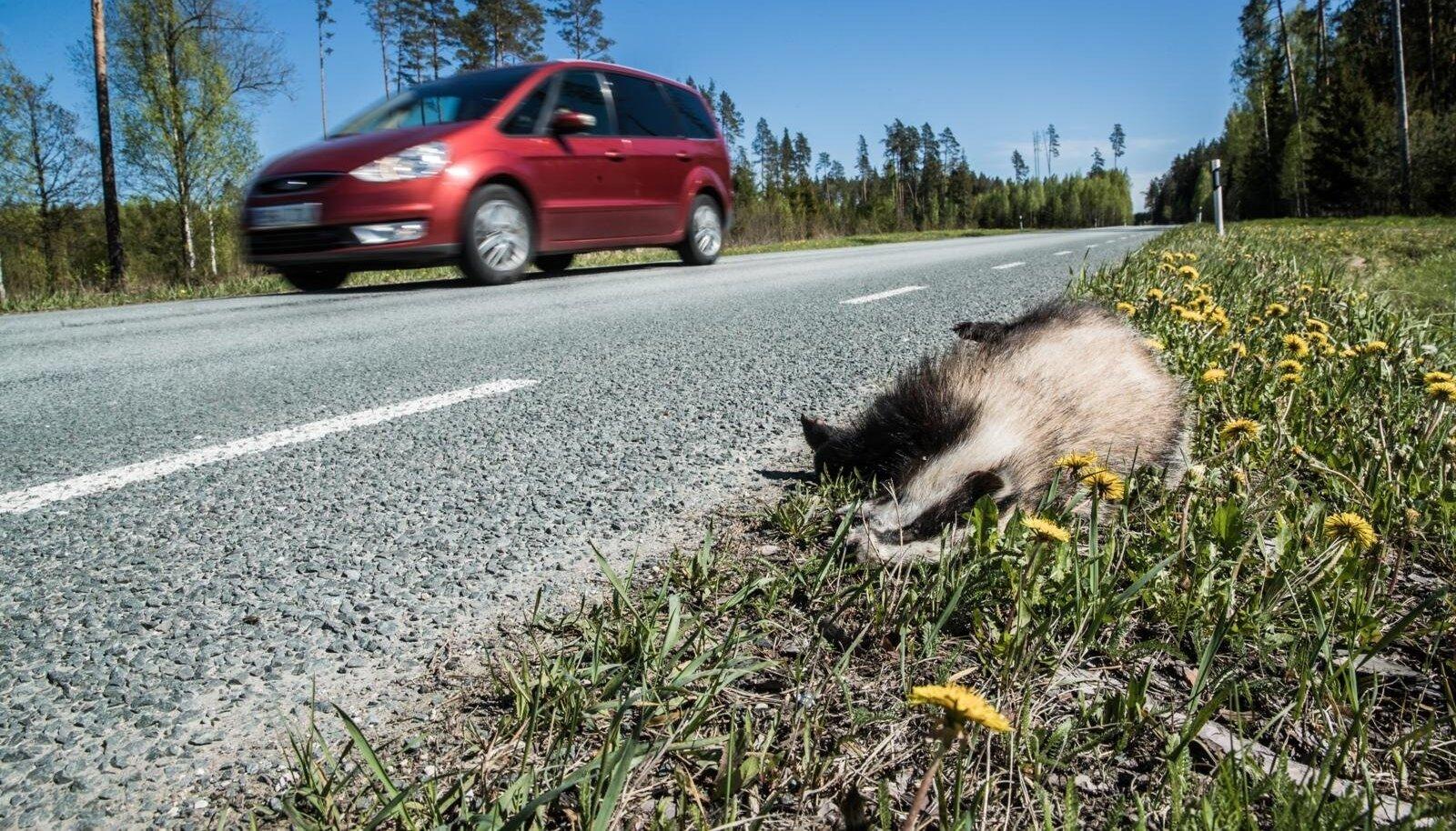 Hukkunud mäger maantee ääres.