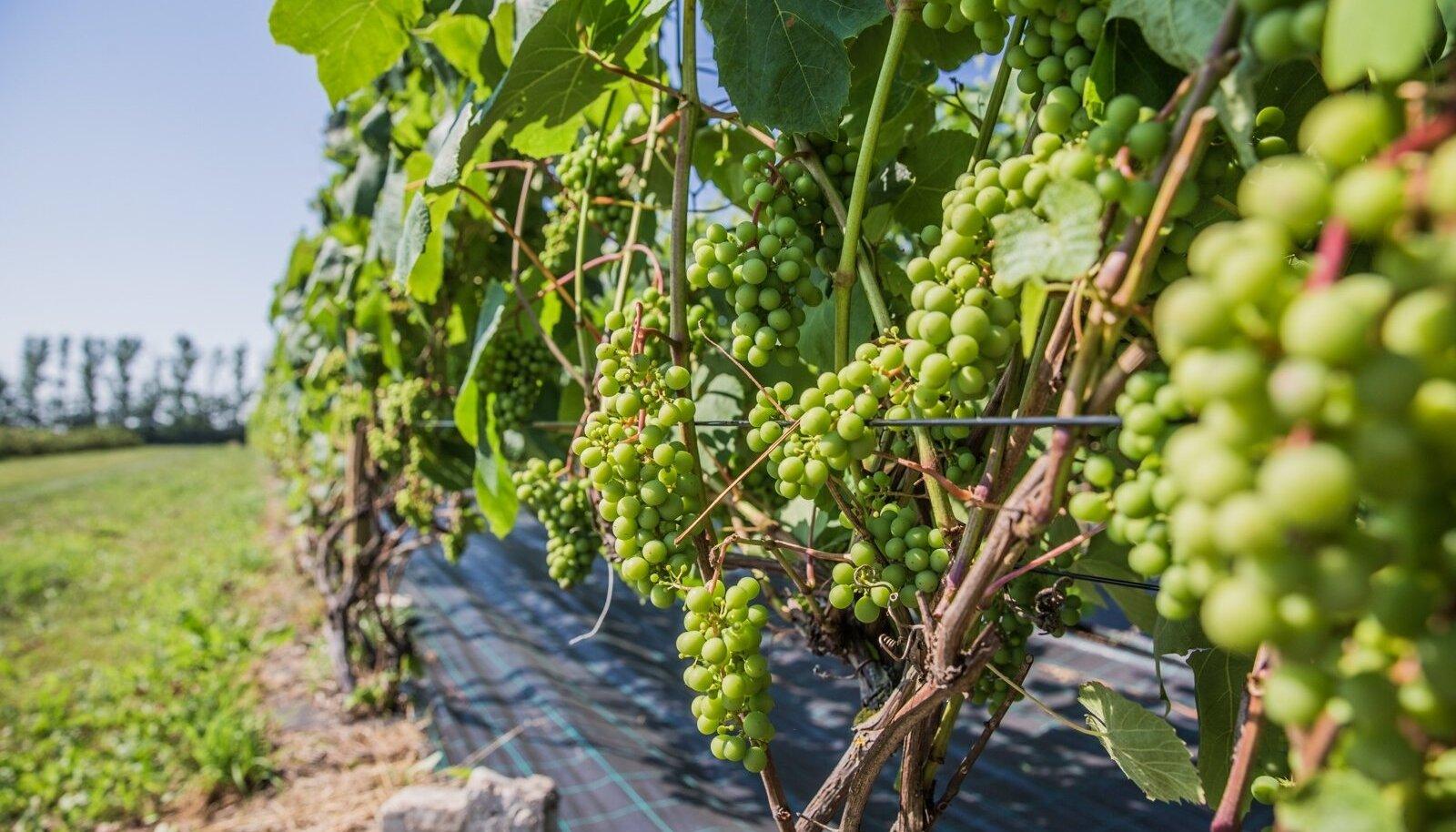 Maaülikooli Rõhu katseaiandi viinamarjad