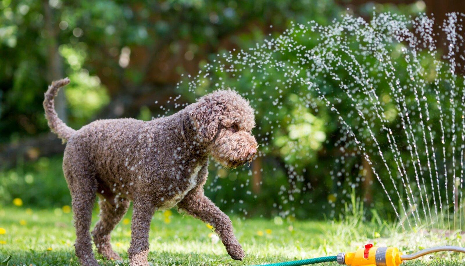 Kui lemmikloomale meeldib vesi, saab teda ülekuumenemise vastu veega jahutada.