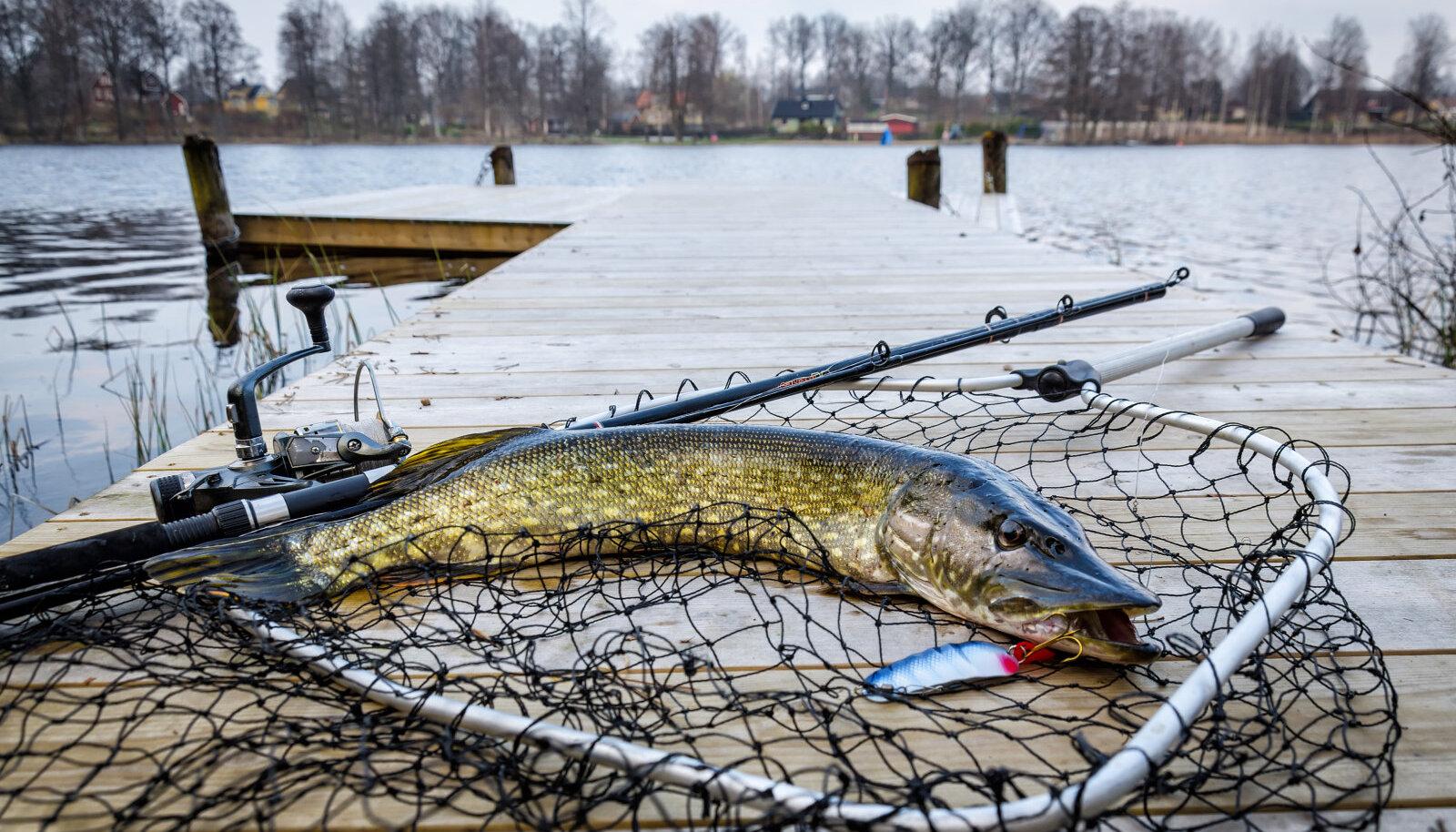Kas tunned ära Eesti vetes - nii sisevetes kui meredes - ujuvad kalad?