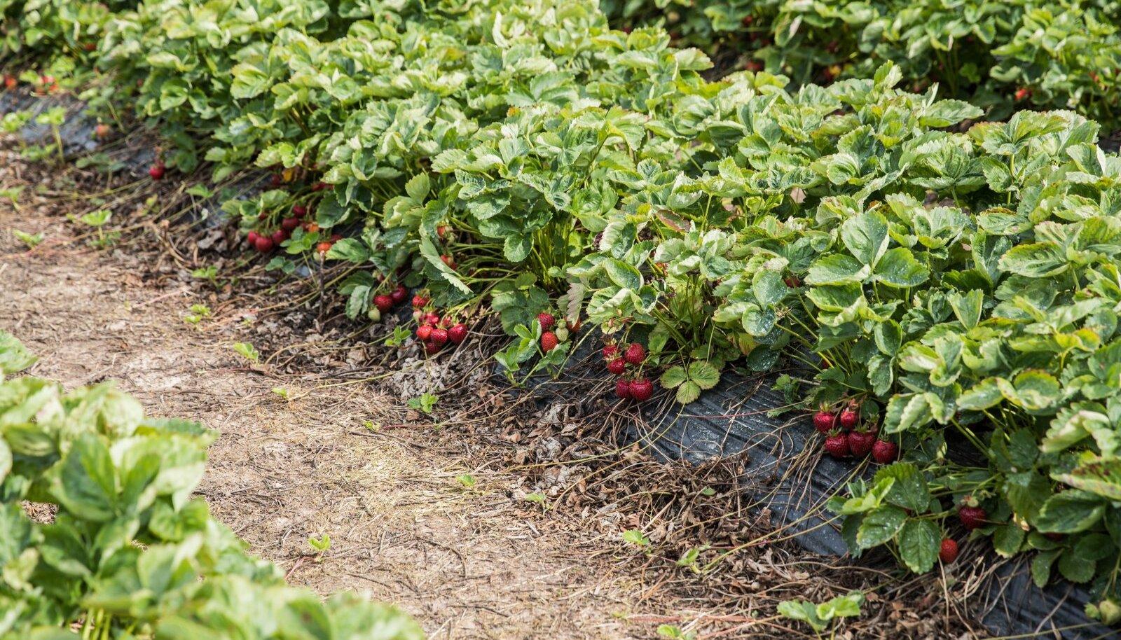 Maasikad sel aastal põllule ei jää, kui läheb nagu plaanitud