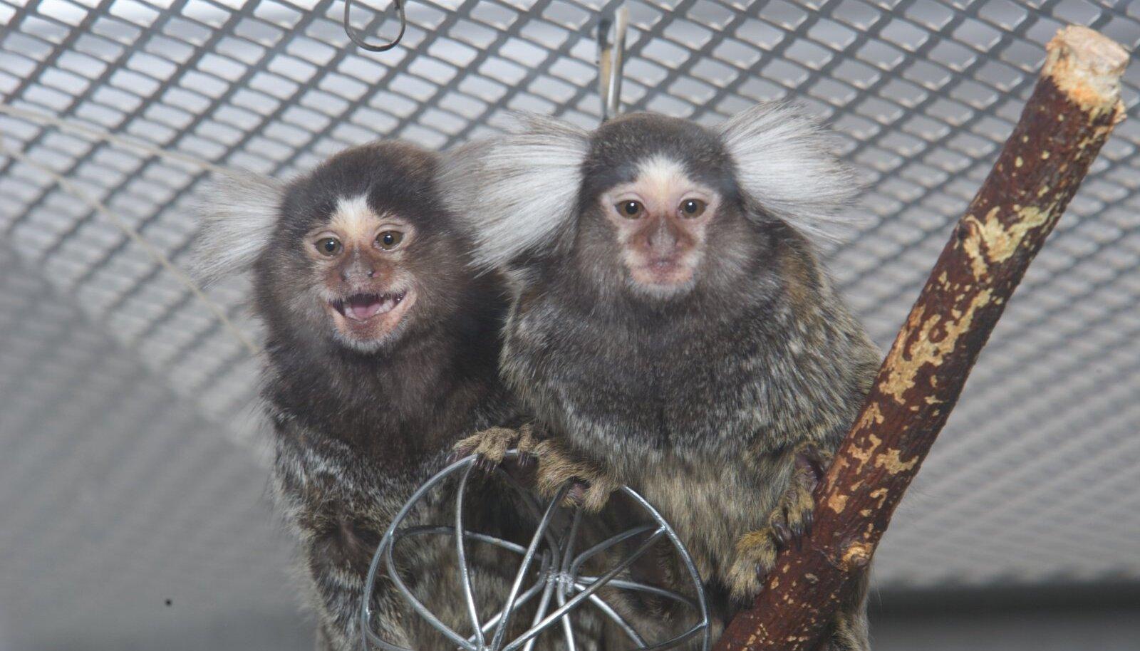 Marmosetid -ahvlased