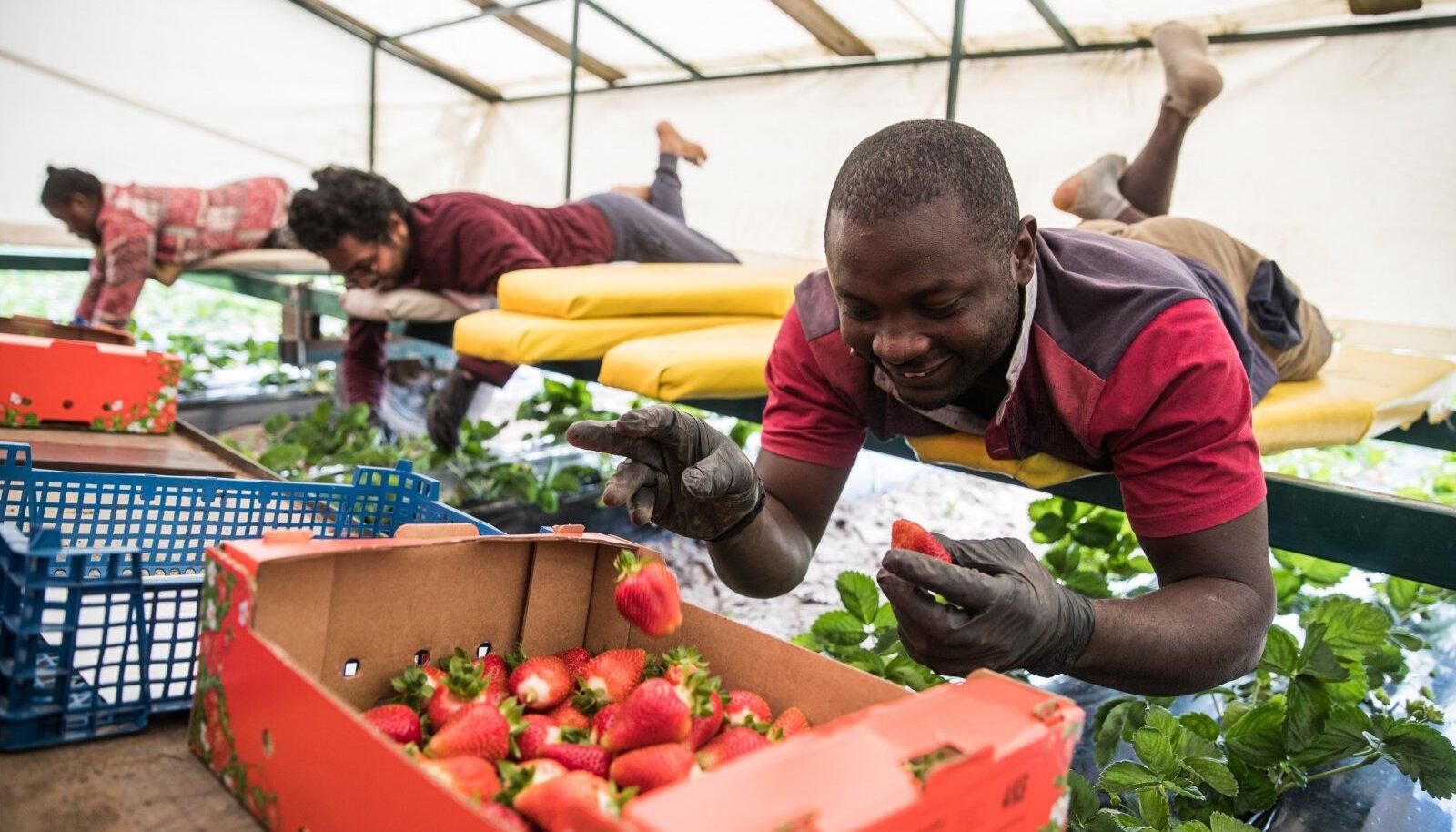 Nigeeria tudengid korjavad maasikaid rõõmsa meelega.