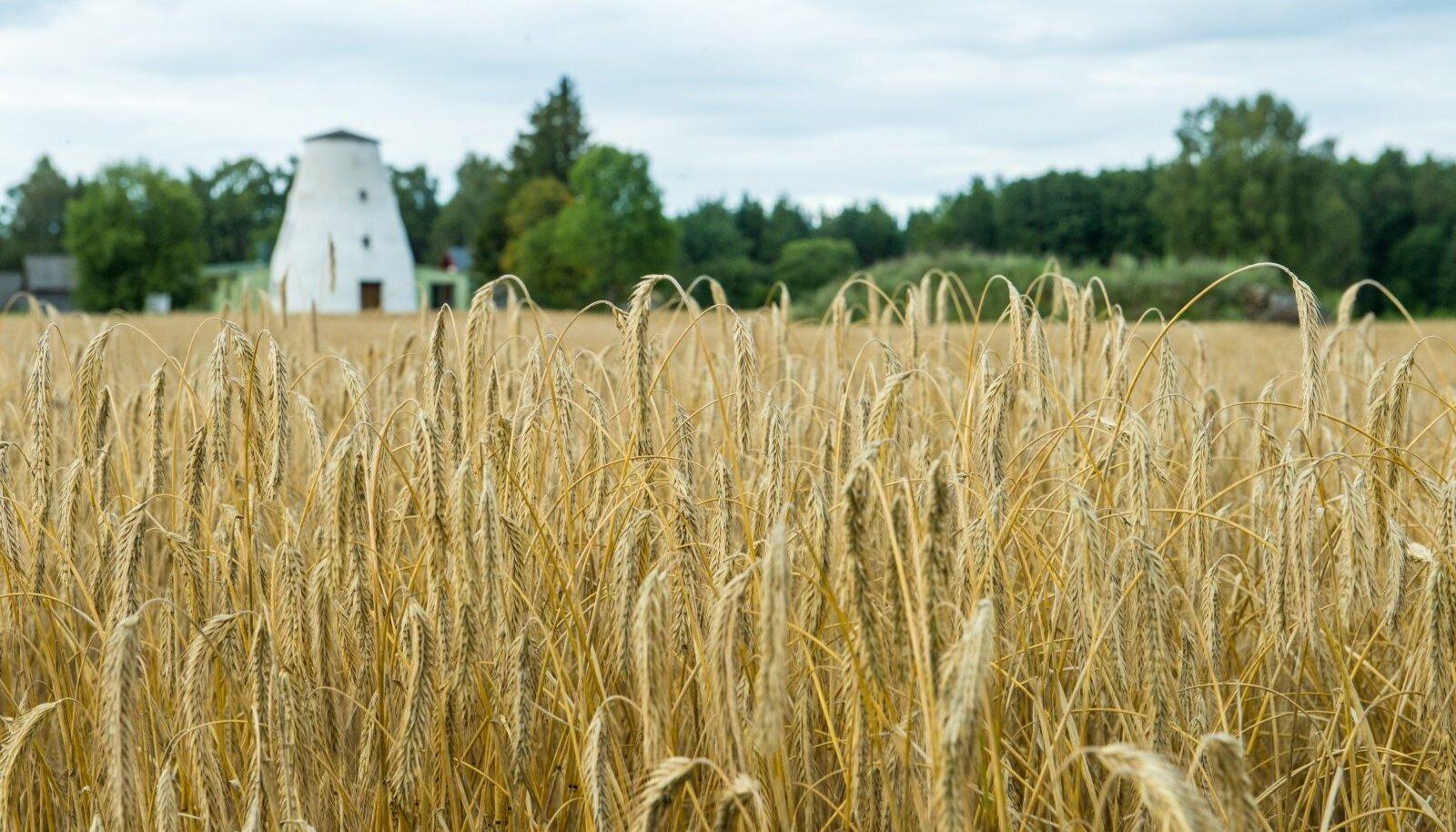 Sellist nostalgilist rukkipõllu pilti näeb Eestis üha harvem, sest rukki asemel kasvatatakse talinisu ja -otra.