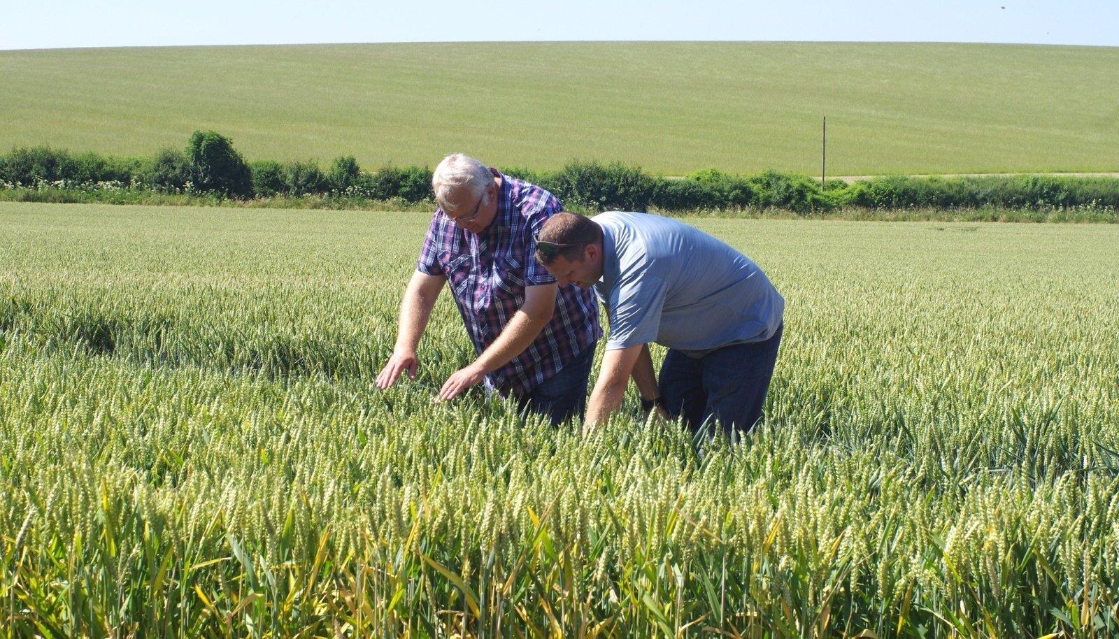 Kaido Kirst ja Kaupo Suik uurivad Inglismaa nisupõldu.