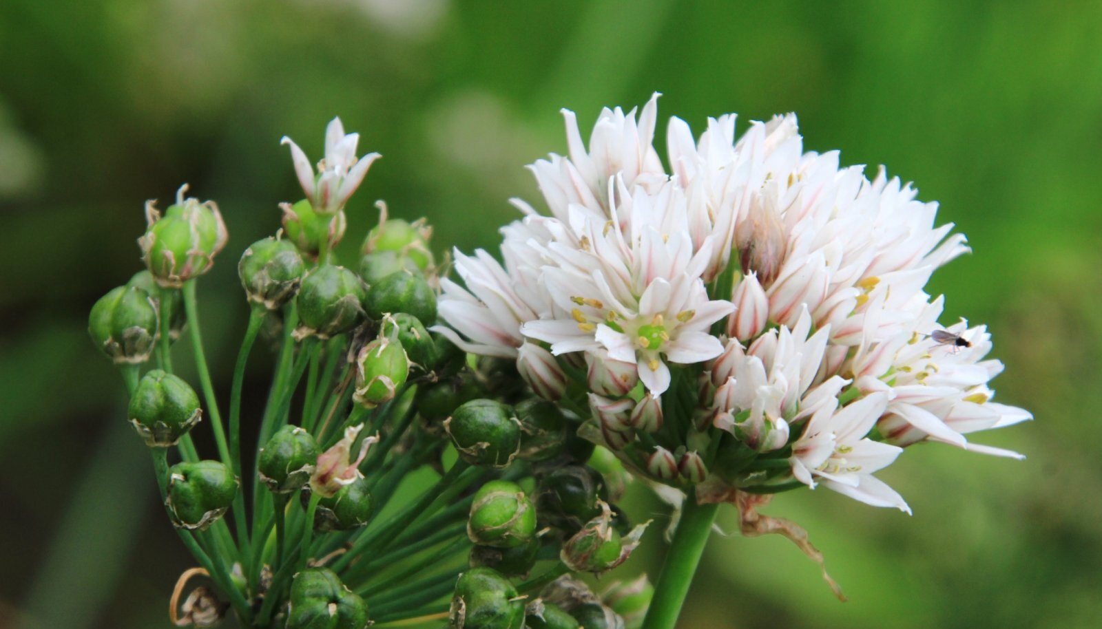 Lõhnav lauk (Allium ramosum)