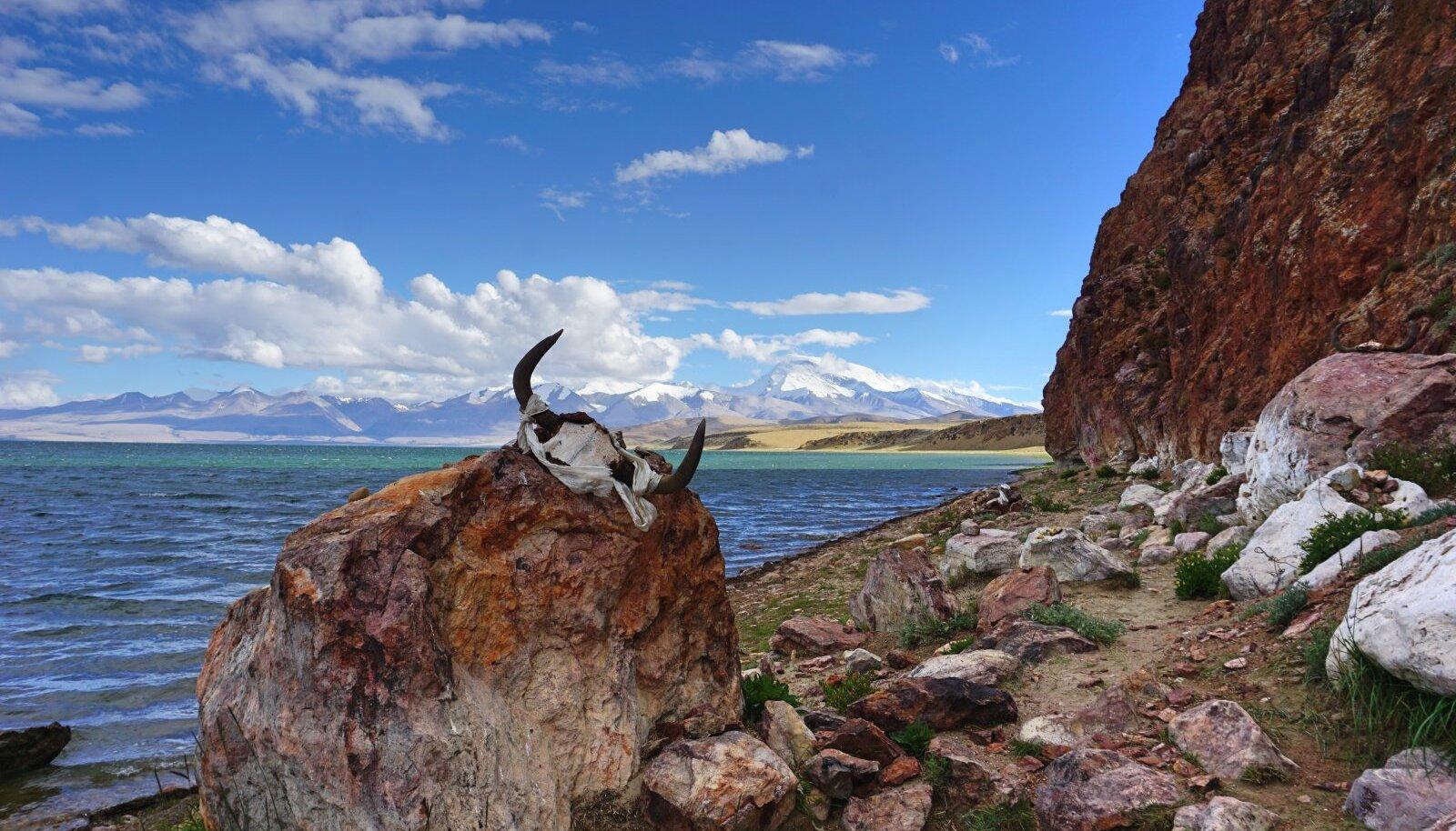 Loomapealuu koos sarvedega Manasarovari järve ääres, Tiibet 2019