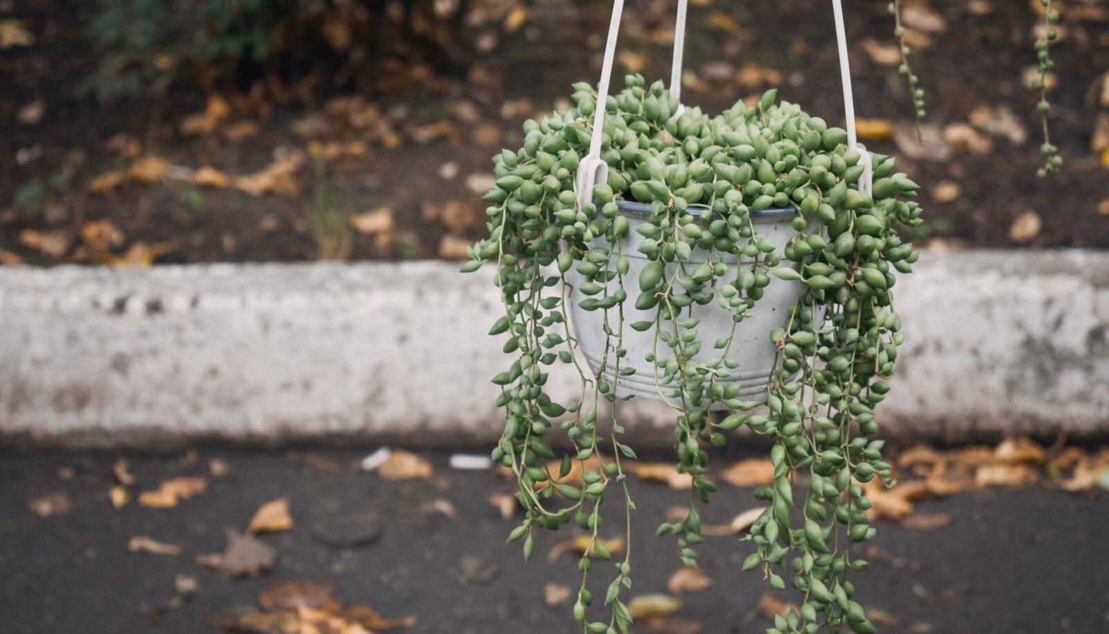 """Helmes-ristirohu """"pärlikee"""" eelistab kasvada väheviljakal kaktusemullal, kasta tasub teda harva ja vahepeal peab pinnas ka läbi kuivama."""