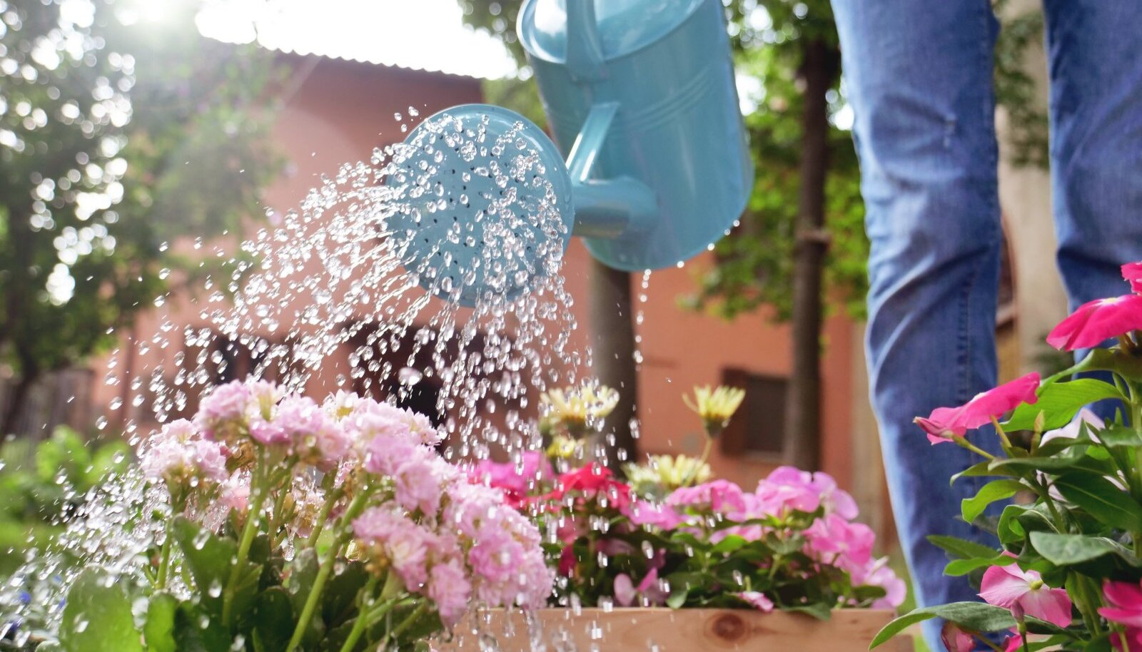 Kuival ja kuumal suvepäeval tuleks lilleampleid kasta isegi kaks korda päevas.