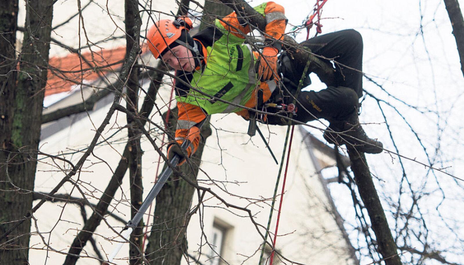 Arboristi töö nõuab tsirkuseakrobaadi võimeid, ent selles töös on oluline ka puude hingeelu tundmine.