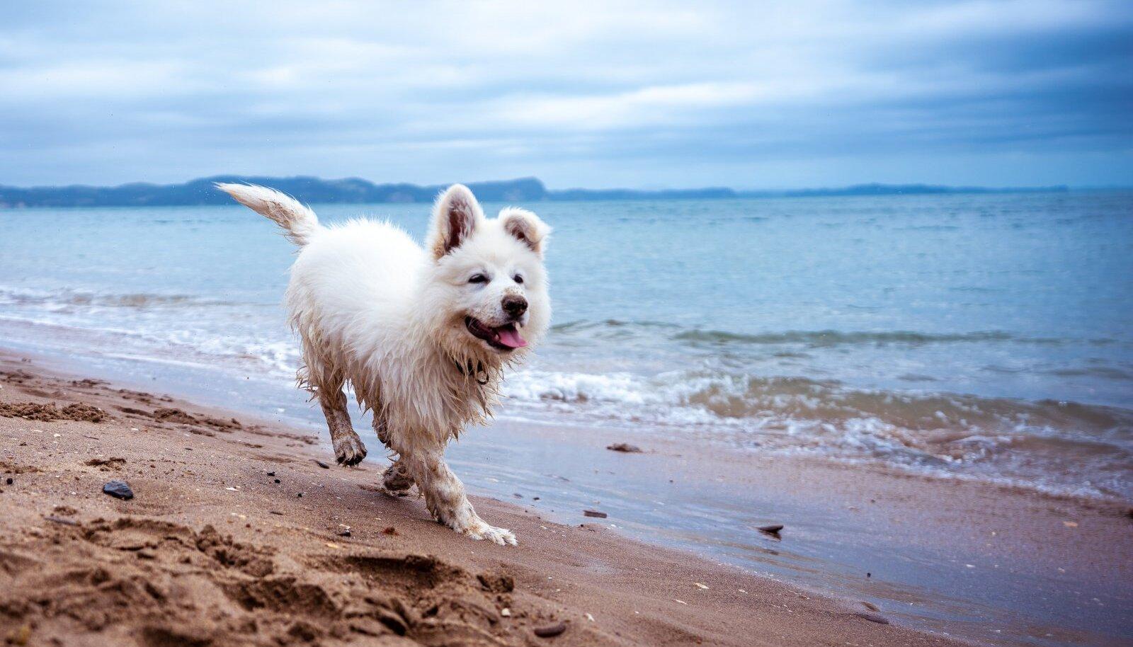 Koer rannas