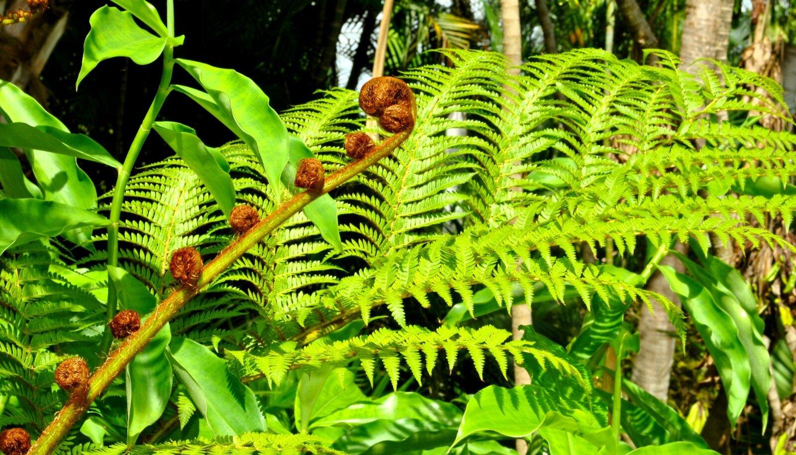 Jaapani astelsõnajalg (P. polyblepharum)