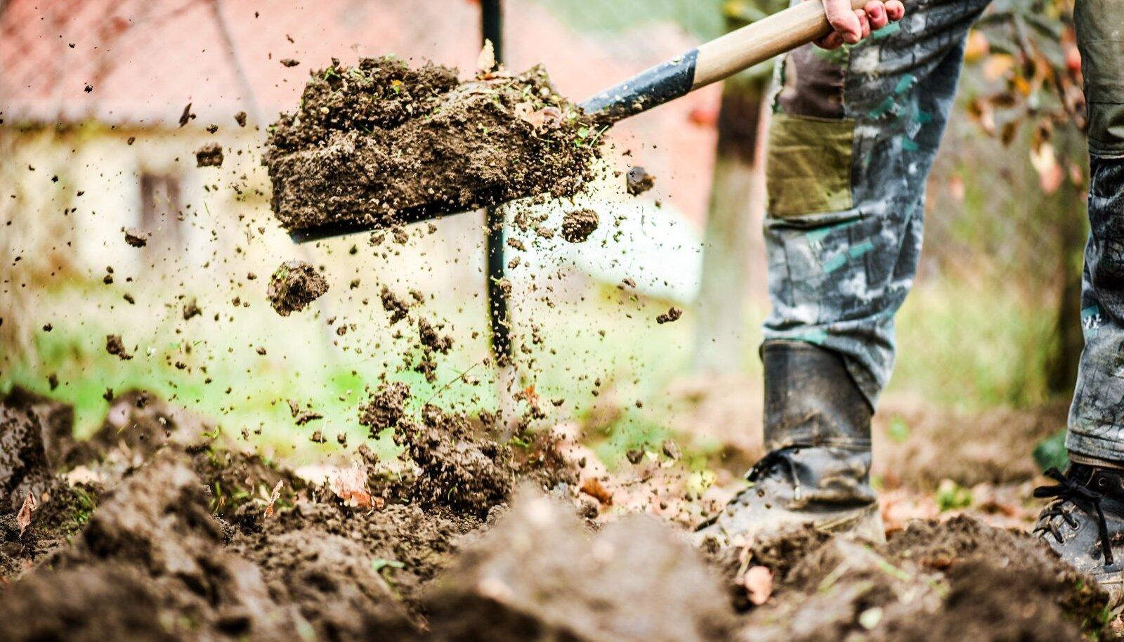 Kaevake kompost juba sügisel valmis tehtud peenardesse – nii on kevadel tööd vähem.