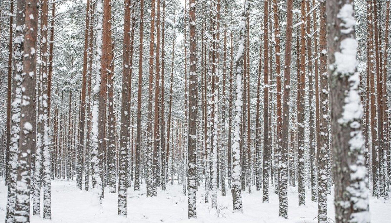 Lumine ja külm talv säästab meie puid kahjuritest ja liigsetest energiakuludest. Seetõttu võib kliima soojenemine omada meie metsade okaspuudele üsna tõsist mõju.