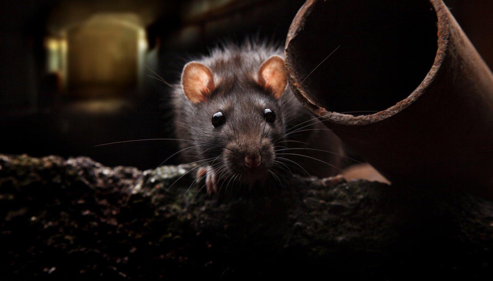 PATUOINAS: Kuigi rotte on peetud sadu aastaid katku levitajaks leidsid Oslo ülikooli hiljuti surmahaigus Euroopas hoopis inimestelelanud parasiitide kaudu.