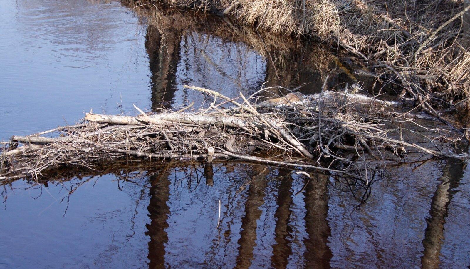 Kuke jões on pahatahtlikud kalamehed kudevatele haugidele lõksud seadnud.