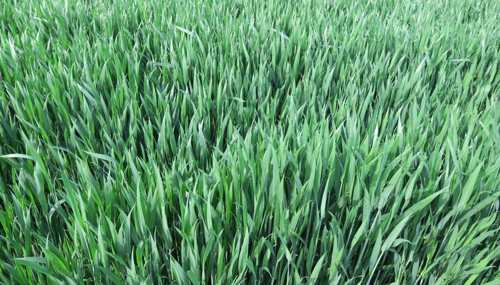 Kuigi nisu 'Malunas' hämmastas kevadel oma võimsa võrsumise ja laiade lehtedega, jäi tera lõppkokkuvõttes peenikeseks ja Eesti võistleja 187 konkurendi seas 103. kohale. Mulla-, lehe- ja teraproovid näitasid, et vajaka jäi nii makro- kui mikroelemente.