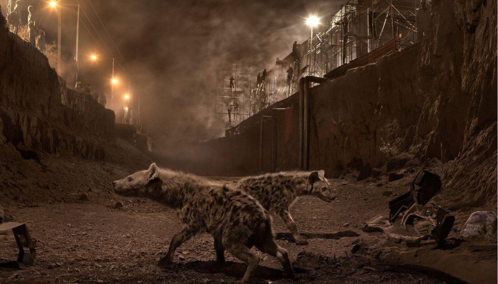 """Nick Brandt, """"River Bed with Hyenas"""". Autor ehitab industriaal- või kaevanduskeskkonda matkivad võtteplatsid ning pildistab seal loomi."""