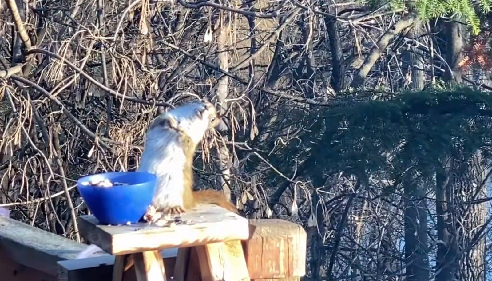 Joobnud orav