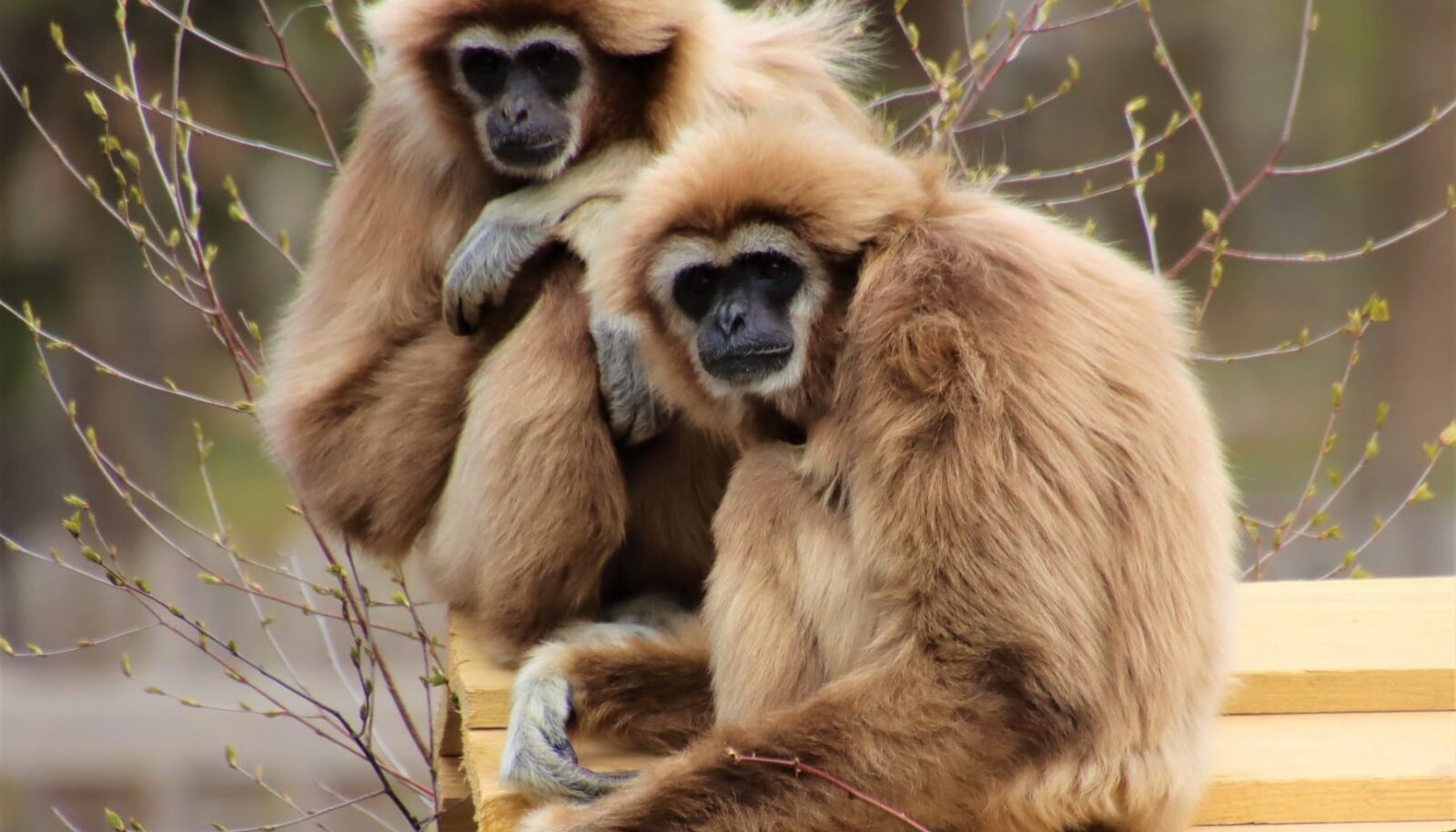 Gibbonid