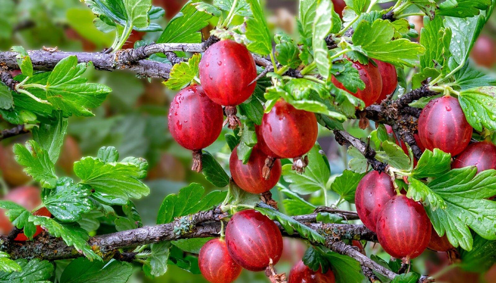 Punased viljad põõsal on ilusad ja ka väga ahvatlevad.