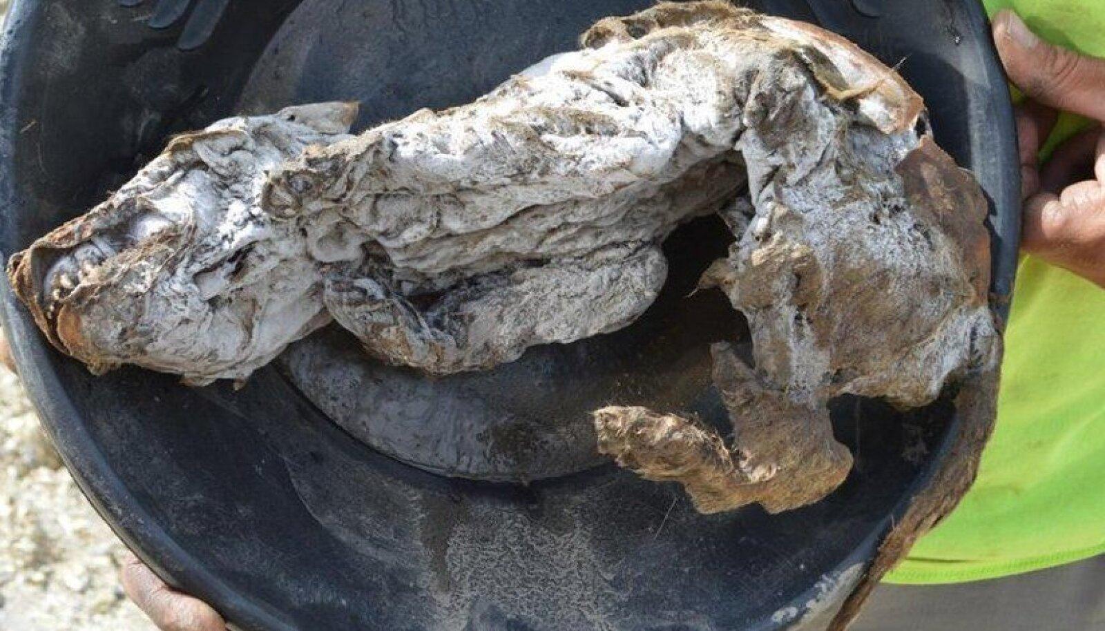 Hundikutsika muumia, millel vanust 56 000 aastat