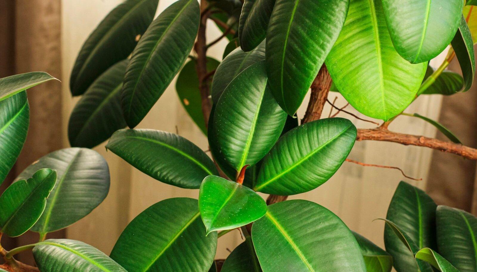 Lopsakate lehtedega kummi-viigipuu.