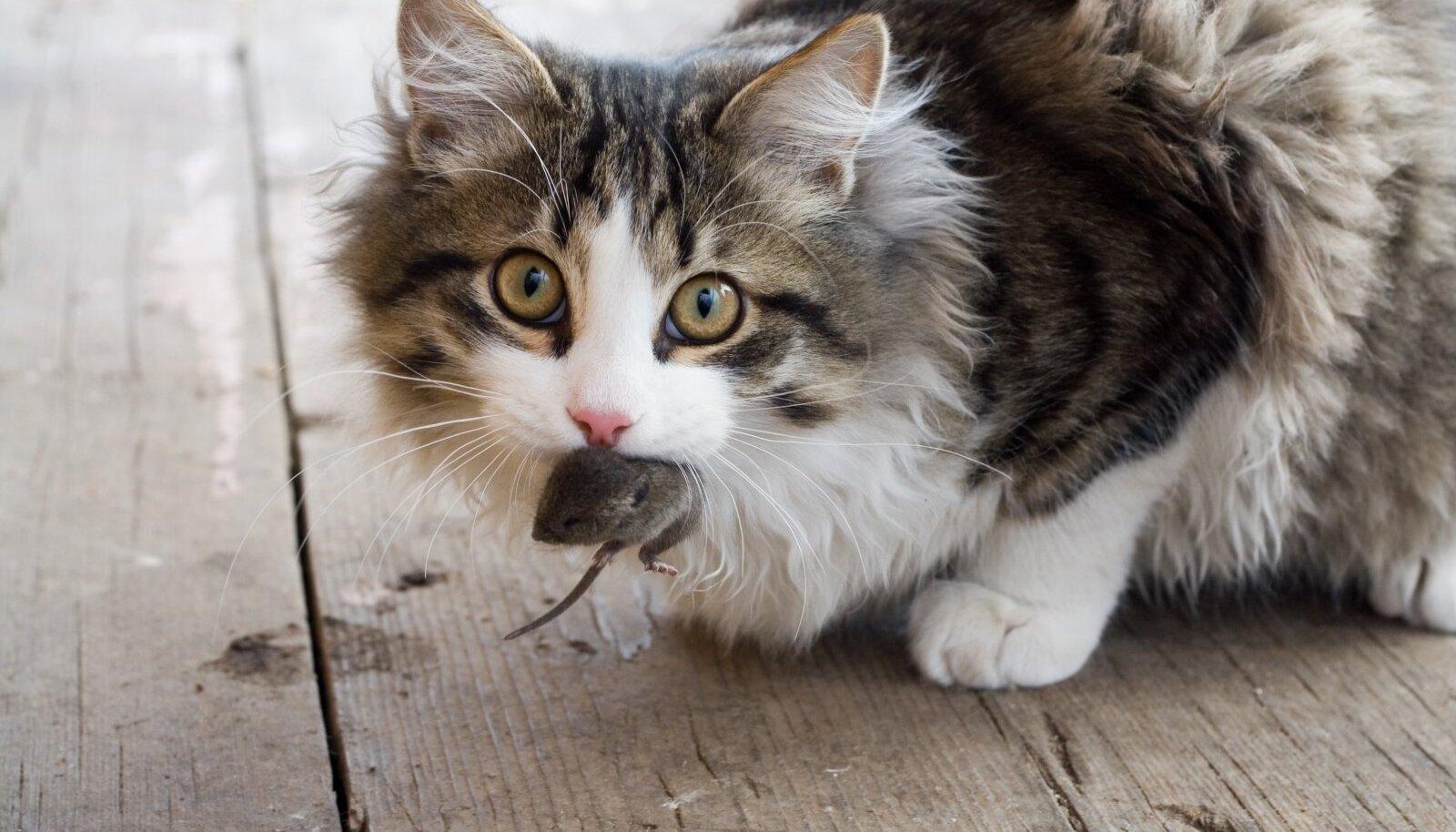 Steriliseerimine või kastreerimine kassi hiirepüüdmisehuvi ei mõjuta