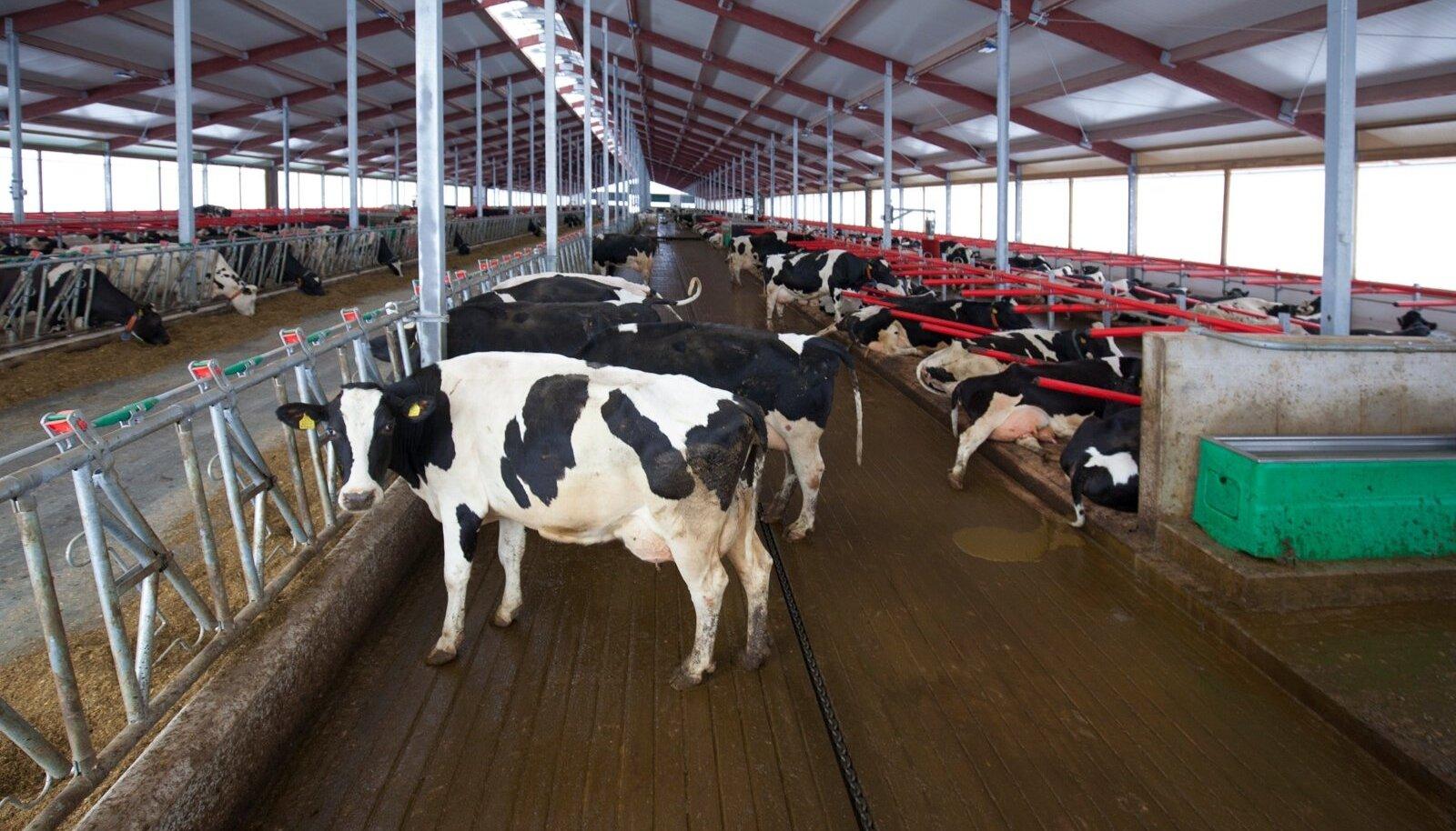 Kaiu farmi uues laudakompleksis on loomad mõlemal pool söödalava vaid kahes reas, ka söödalava on pikemaks ehitatud – nii mahuvad kõik lehmad korraga sööma.