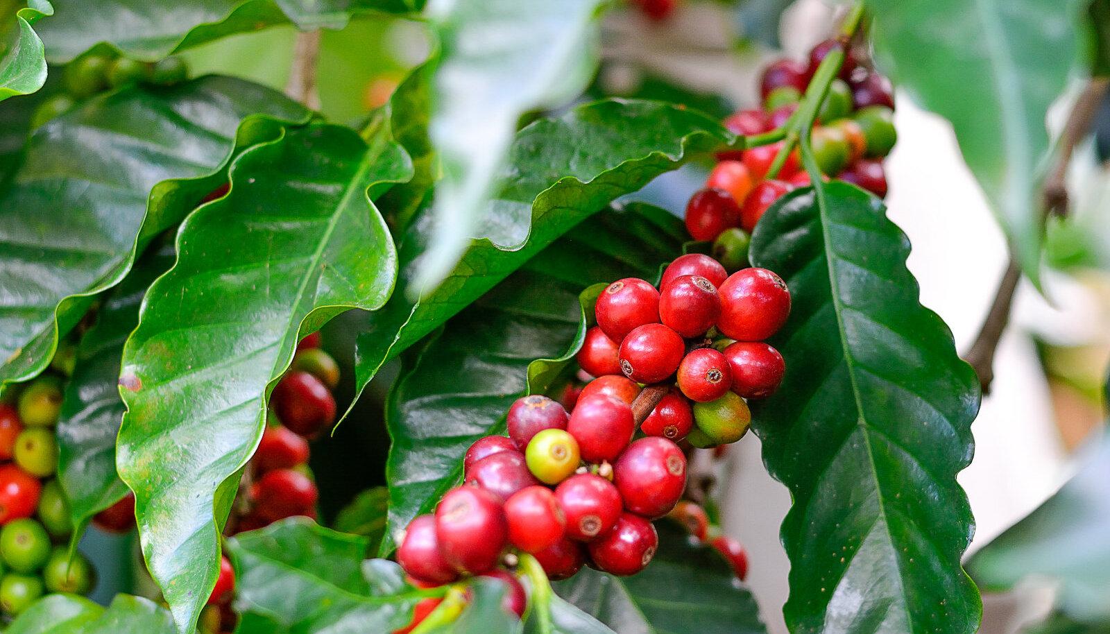 Kofeiin ei olegi ainult erguti! Sellel on veel üks uskumatu toime, mida sa tõenäoliselt ei teadnud