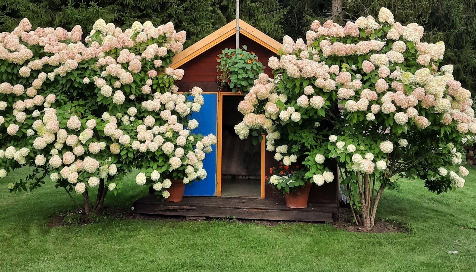 Uhked hortensiad Helve Mehilase aias.