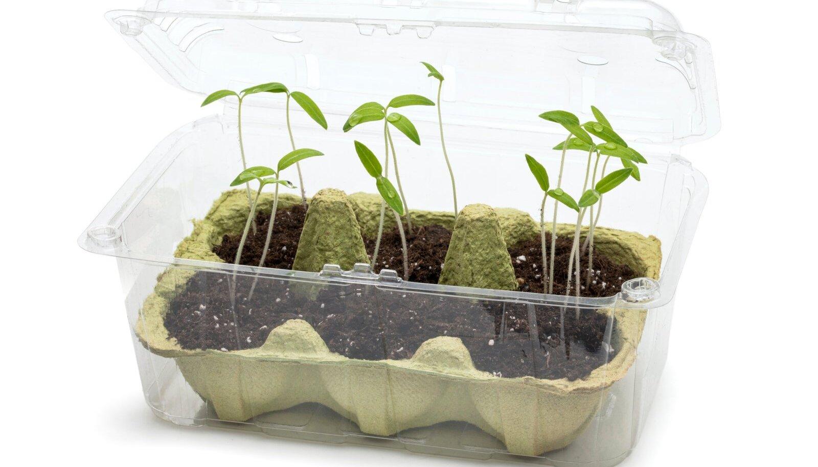 Tavalisest tomati- või seenekarbist saab toreda minikasvuhoone.