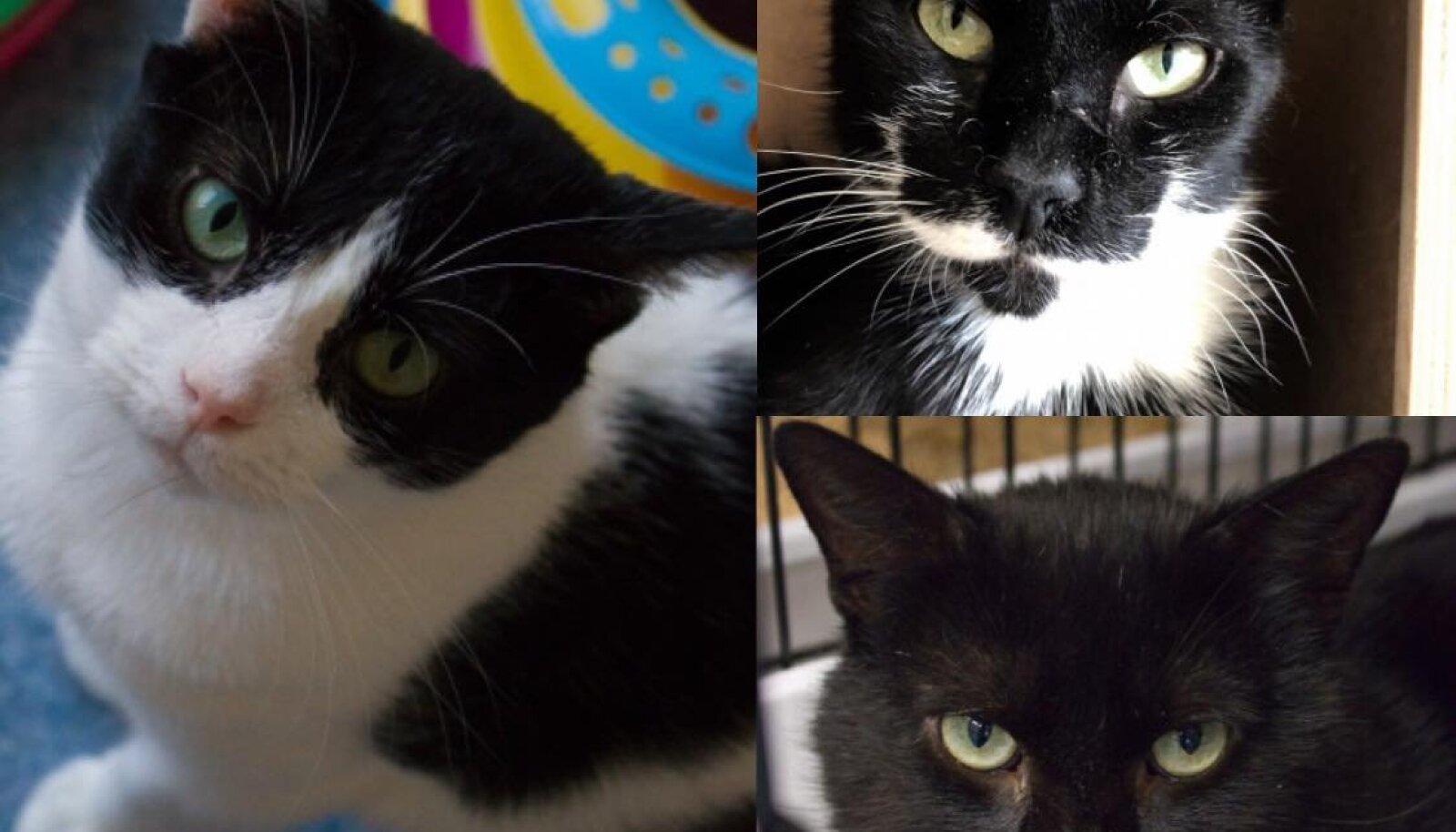 Kolm kassipoissi otsivad endale hoiukodu.