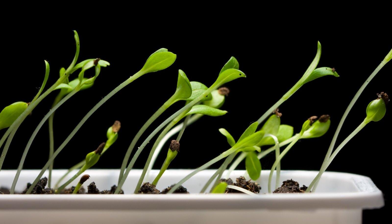 Tüüpilised valgusepuuduse all kannatavad väiketaimed on veninud ja nõrgad.