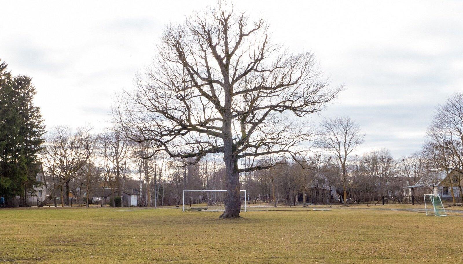 Orissaare jalgpalliväljakul asetsev tamm valiti Euroopa aasta puuks