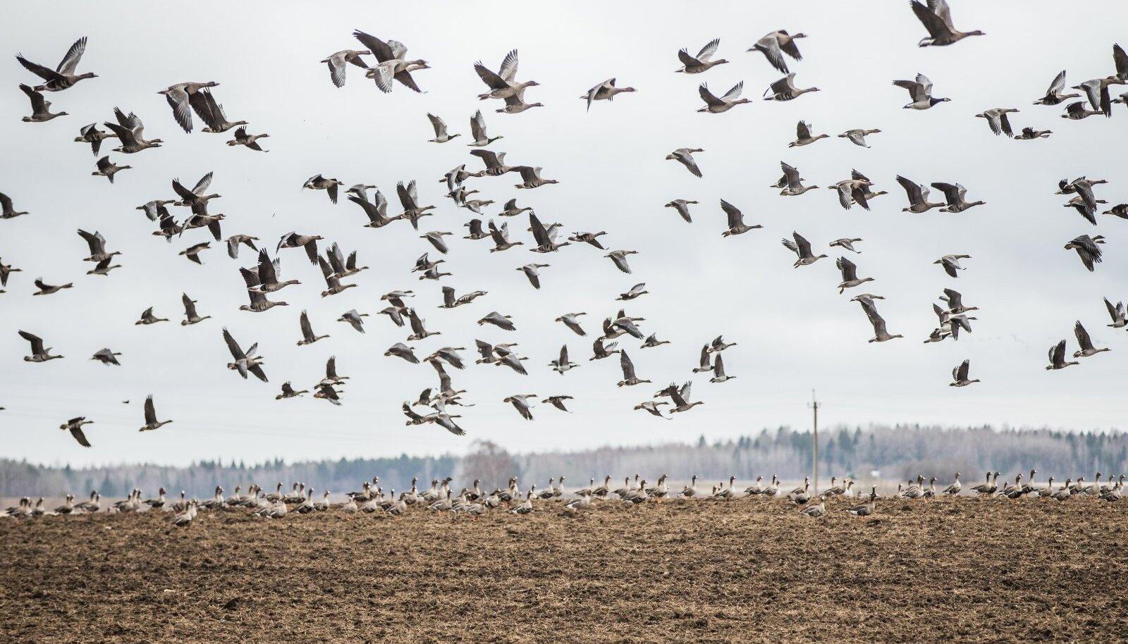 Keskkonnaameti korralduse alusel lubati põllukultuuride kaitsmiseks tänavu surmata kuni 1000 lindu (sh parve kohta vaid üks lind), mis on väga väike osa Eestit rändel läbivatest sadadest tuhandetest hanelistest.
