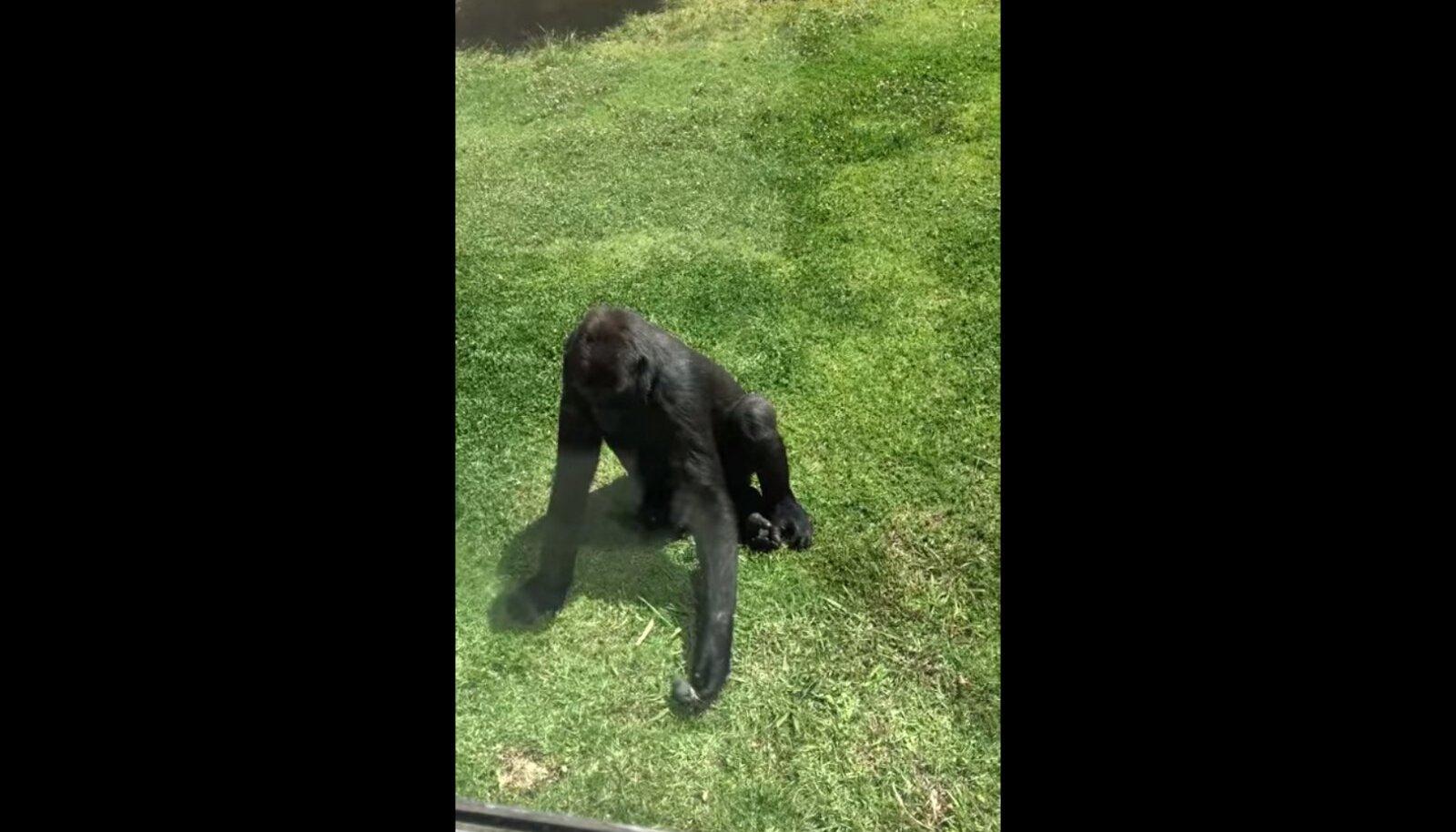 Gorilla püüab viga saanud lindu aidata