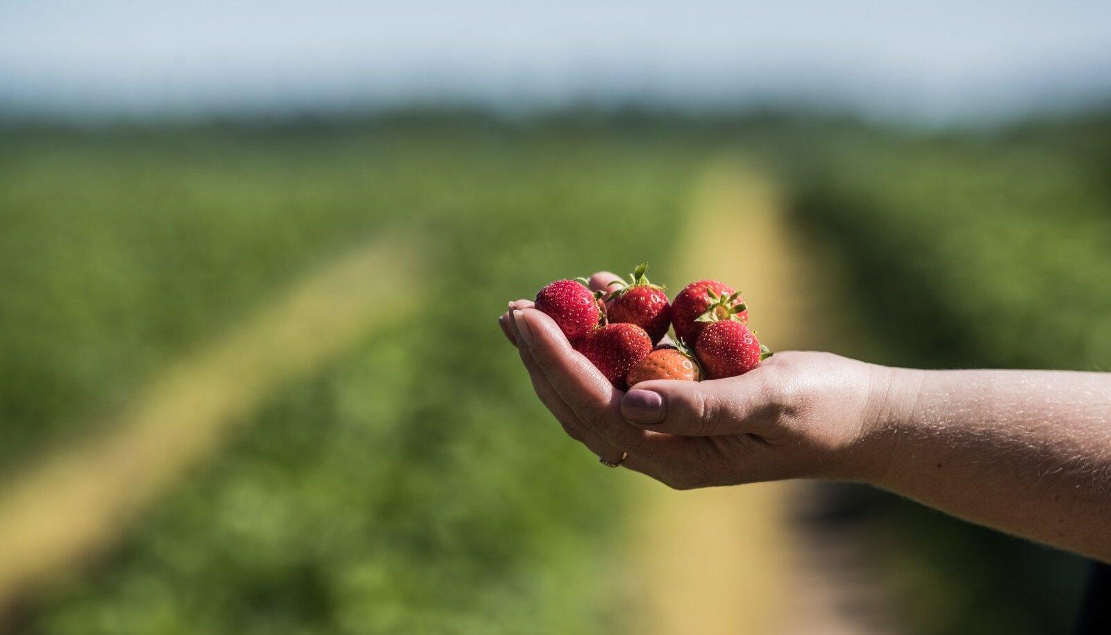 Maasikad saavad peagi valmis, aga kes need ära korjab?