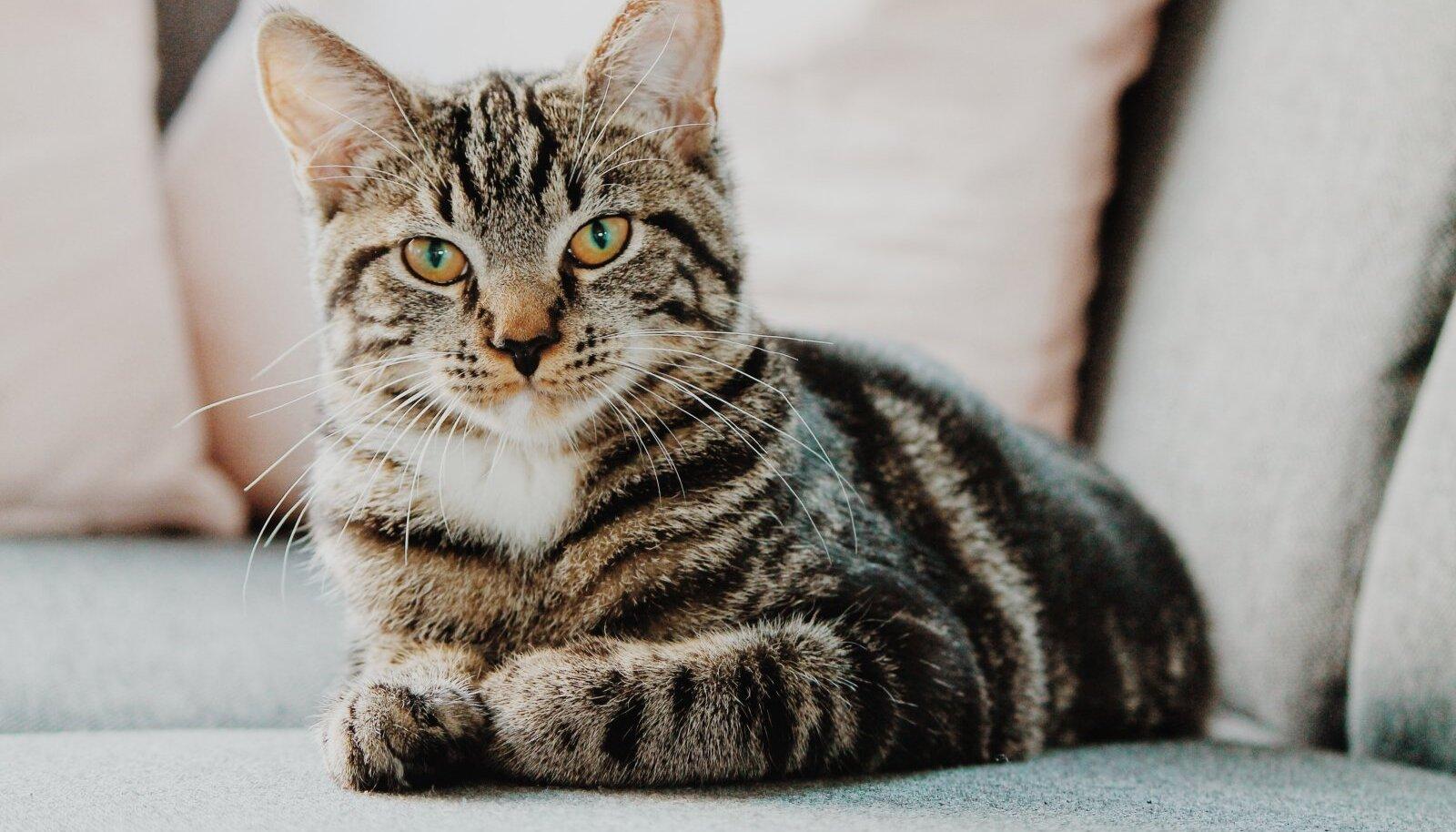 Keskmiselt võetakse Pesaleidjast 40-50 kassi kuus