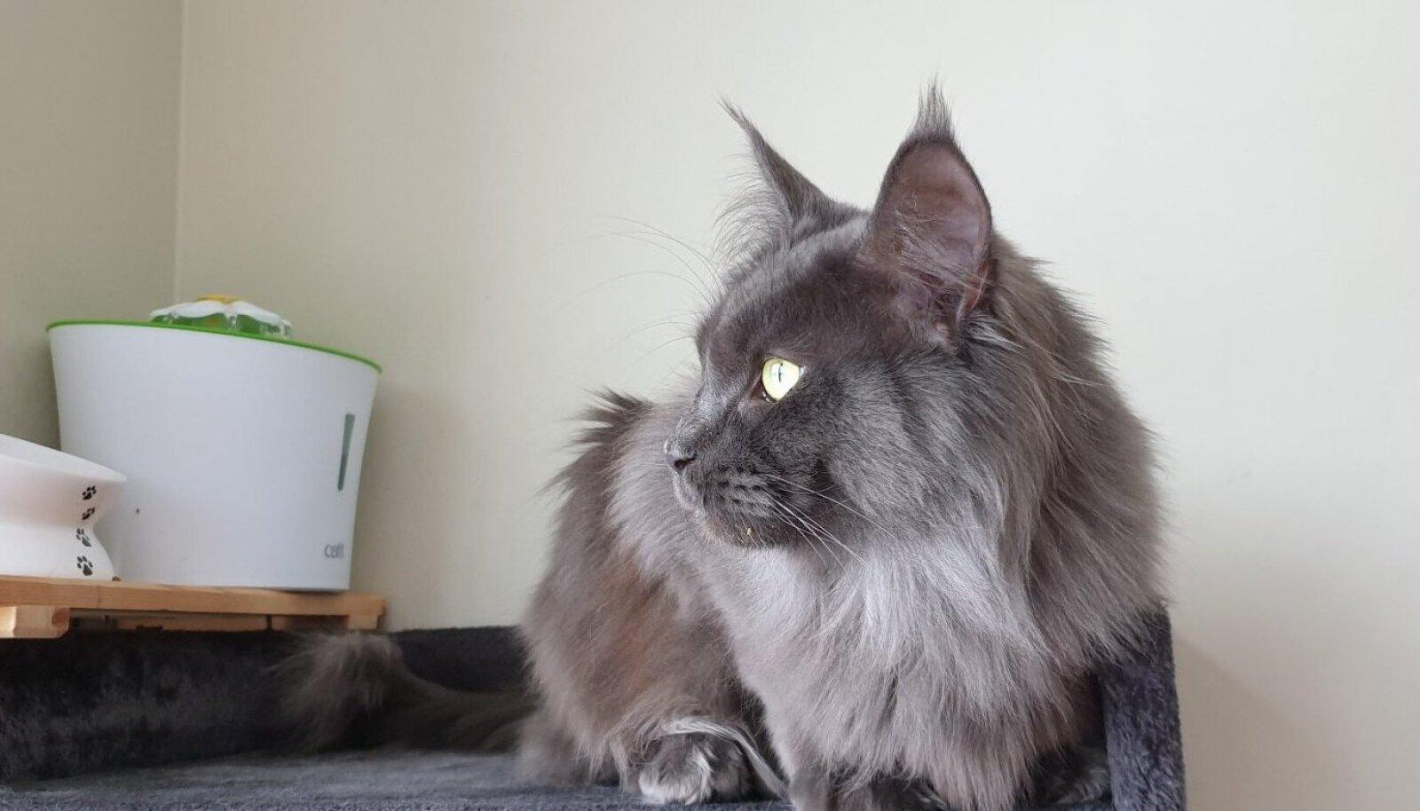 Ka Eestis elaval kass Intsul leiti koroonaviirus