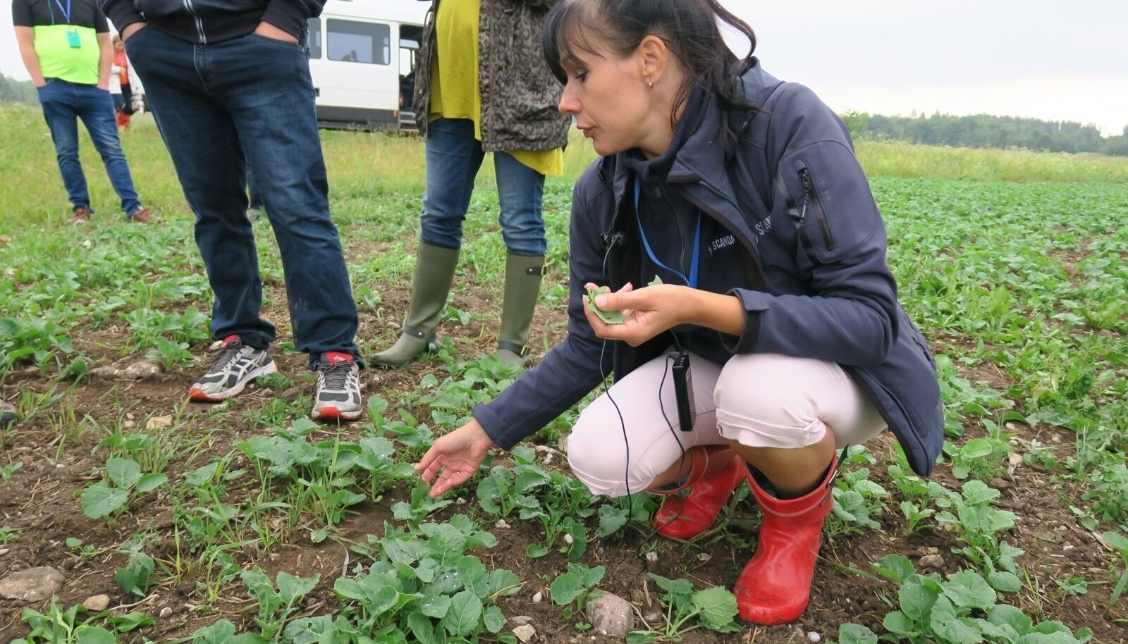 Scandagra agronoom-nõustaja Tiiu Annuk otsib rapsilt kahjureid.