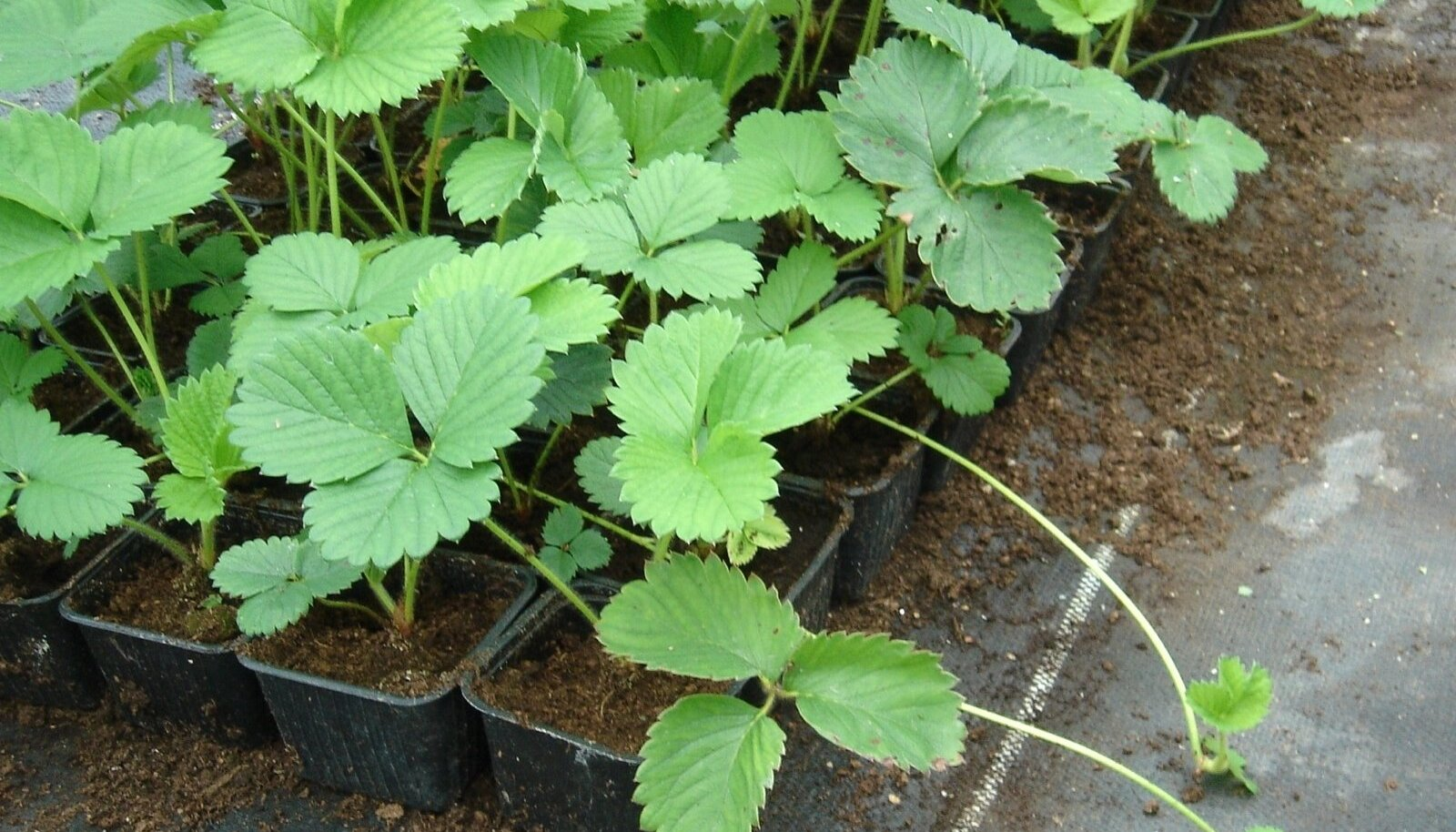 Risoomiharudega paljundatud kolmenädalased maasikataimed.