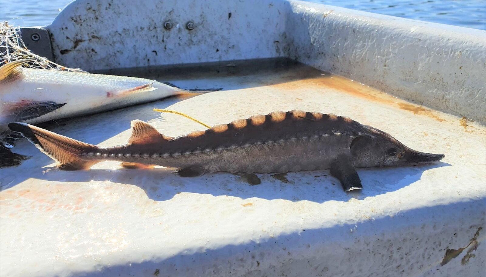 Eru lahes kaluri võrku sattunud märgistatud tuur, kes kohe ka vette tagasi lasti