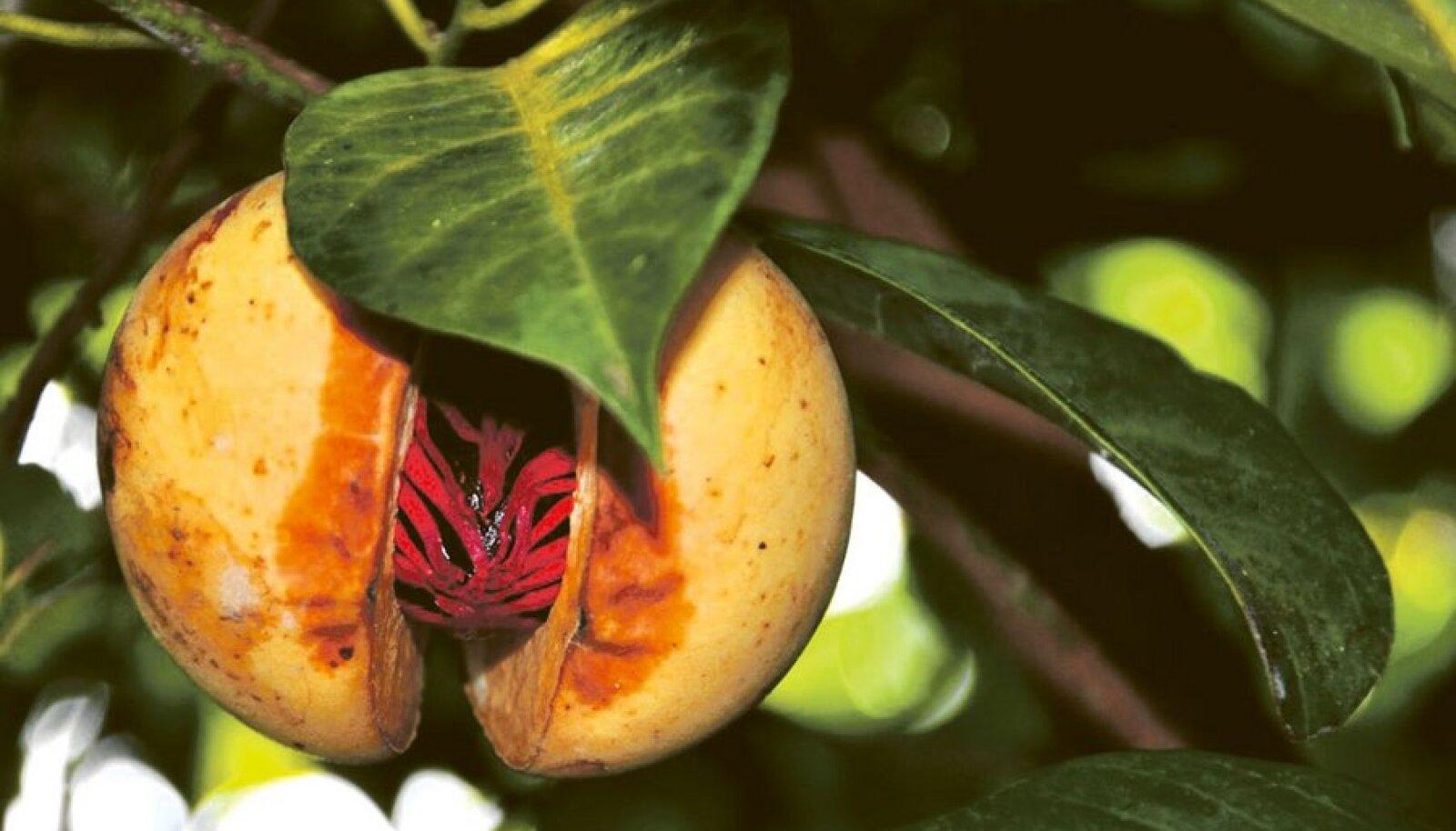 Muskaatpähklit katab kasvu ajal punakas seemnerüü ehk maasis.
