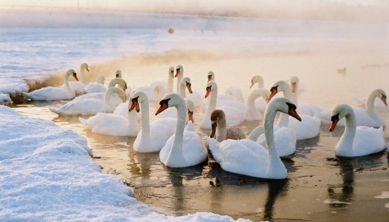 Luiged ja pardid talvel Tallinna lahe ääres.