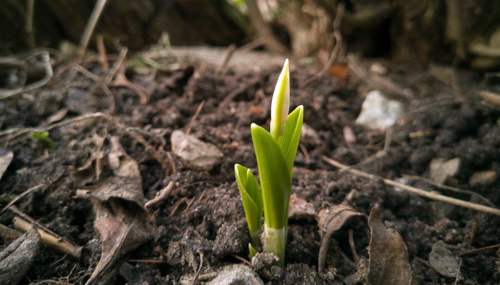 Aiapidajad saavad vatti näha, sest mais võib krõbedat öökülma tulla.