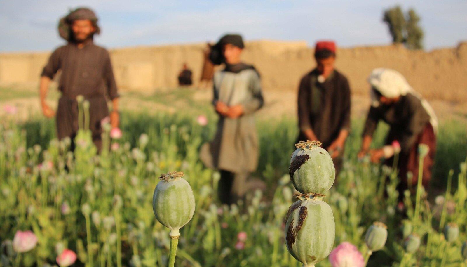 Oopiumimajandus, mis pakub põllupidajatele mitu korda kindlamat elatisallikat kui toidukasvatus.
